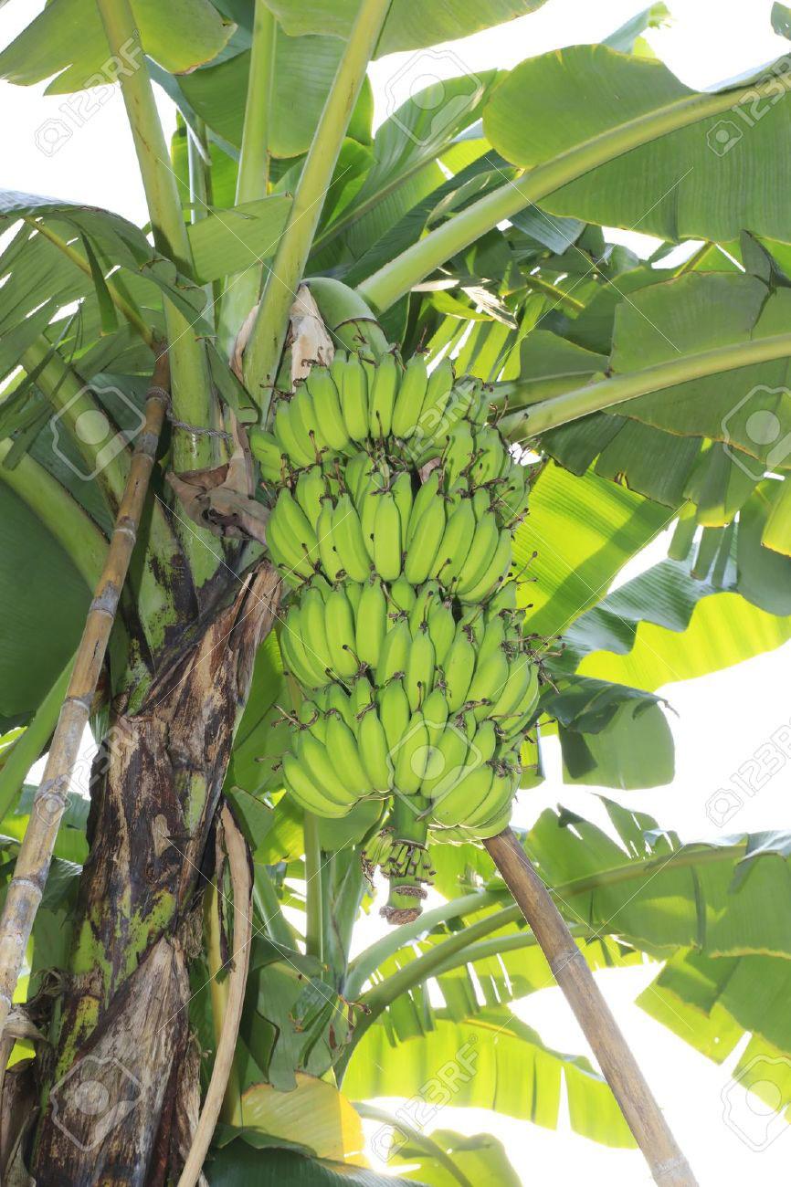 Come Coltivare Un Banano banano   dentro la materia